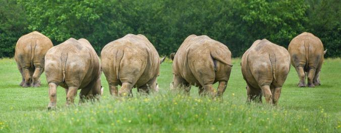rhinoceros-3471555_1920